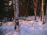Birch Trees in the Snow at the International Wolf Center