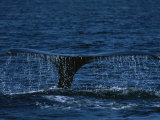 The Tail Flukes of a Humpback Whale