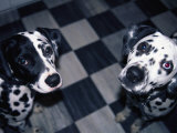 Two Dalmatians Look up from a Black and White Checkered Kitchen Floor