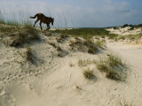 A Windblown Wild Horse Traverses a Sparsely Vegetated Dune on the Island
