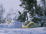 A Polar Bear Cub Peeks from a Snow Drift as Mother and Twin Cub Rest