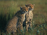 A Portrait of a Pair of Juvenile African Cheetahs