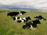 Holstein-Friesian Dairy Cows