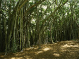 A Grove of Banyan Trees Send Airborn Roots Down to the Forest Floor
