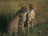A Portrait of a Pair of Young African Cheetahs