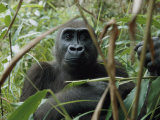 A Once Capitve Gorilla is Now Flourishing One of Gabons New Parks