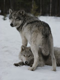 Gray Wolf Stands over a Pack Member Lying in Snow