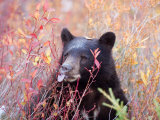A Black Bear Eats a Blueberry While Adding Weight for Hibernation