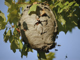 A Close View of a Very Active Wasp Nest