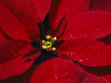 A Close View of Dew Drops on a Poinsettia Plant