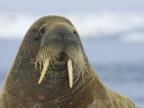 Whiskers and Tusks Adorn the Face of an Adult Atlantic Walrus