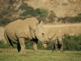 A Captive Southern White Rhinoceros Guards its Young