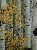 Autumn Foliage and Tree Trunks of Quaking Aspen Trees in the Crested Butte Area of Colorado Papier Photo par Marc Moritsch