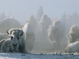 A Frost-Covered Herd of American Bison Brave the Freezing Winter Weather