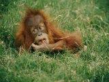 A Captive Juvenile Orangutan Sits in the Tall Grass