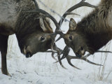 Two Bull Elk Lock Antlers in Confrontation