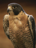 A Portrait of a Peregrine Falcon  Falco Peregrinus