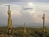 Desert Scene with Saguaro Cacti Near Tucson