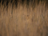 A Bobcat Hides in the Overgrowth