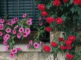 Close View of Corner of Window with Petunia Flower Box and Red Roses