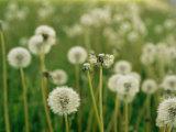 Dandelion Heads in a Field Near Walton  Nebraska