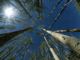 Skyward View of a Sunburst Through Towering Aspen Trees