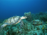 An Endangered Hawksbill Turtle Swims Near the Sea Floor