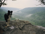 A Border Collie Stands on the Bluff at Ravens Point  Tennessee