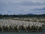 In New Zealand  Sheep are Kings of the Road