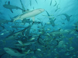 Sharks in a Feeding Frenzy