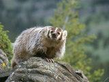 American Badger on Rock