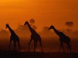 Silhouettes de girafes au coucher du soleil Papier Photo par Beverly Joubert