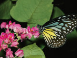 Close View of a Blue and Yellow Glassy Tiger Butterfly on a Pink Flower