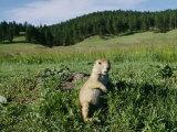 Un chien de prairie à queue noire près de son terrier Papier Photo par Raymond Gehman