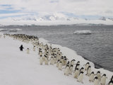 Chin Strap Penguins March Along the Icy Coast of Antarctica