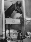Horse of the Year  Kelso  Standing in His Stall