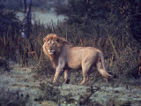 Male Lion in the Wild