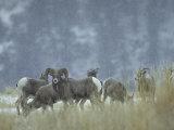 Bighorn Sheep Grazing in Idaho Primitive Area