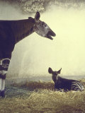 Baby Okapi Sitting on Mat of Straw as Its Mother Looks on at Parc Zooligique of Vincennes
