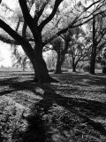 Live Oak Trees at Bonny Hall Plantation