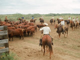 Cowboys on the King Ranch Move Santa Gertrudis Cattle from the Roundup Area Into the Working Pens