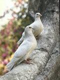 Doves Sitting on Tree Branch  in Chapultepec Park