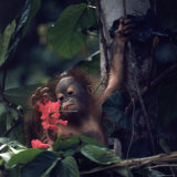 Baby Orangutan in the Jungles of North Borneo