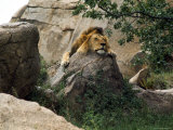 Male Lion Sleeping on a Rock in Africa