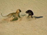Leopard About to Kill a Terrified Baboon