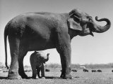 Butch  Baby Female Indian Elephant in the Dailey Circus  Standing Beneath Full Size Elephant