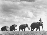 Circus Elephants Walking in Line