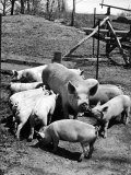 Championship Yorkshire Mother Pig with Babies