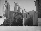 Franklin D Roosevelt's Dog Fala  Listening to the President's Speech on the Radio