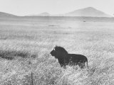 Male Lion in High Grass Region of Africa